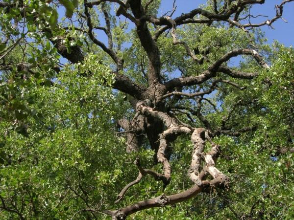 Hurshat Tal-i tölgyfa