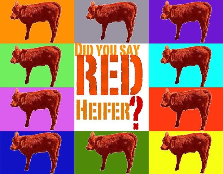 A megfejthetetlen kérdés: a vörös tehén