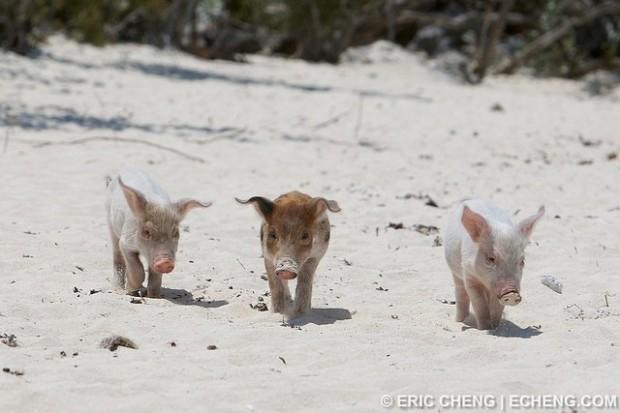 Bahamázó malackák