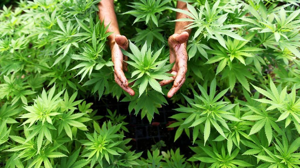 a marihuána segíthet a fogyásban)