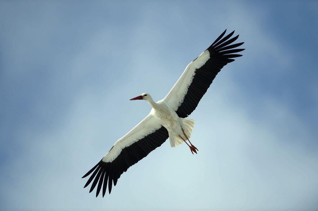 Gólyahír: Báró, az őrhalmi gólya Izraelben várja az újévet