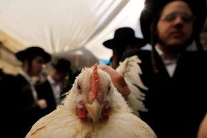 Nem lesz ma jó csirkének lenni