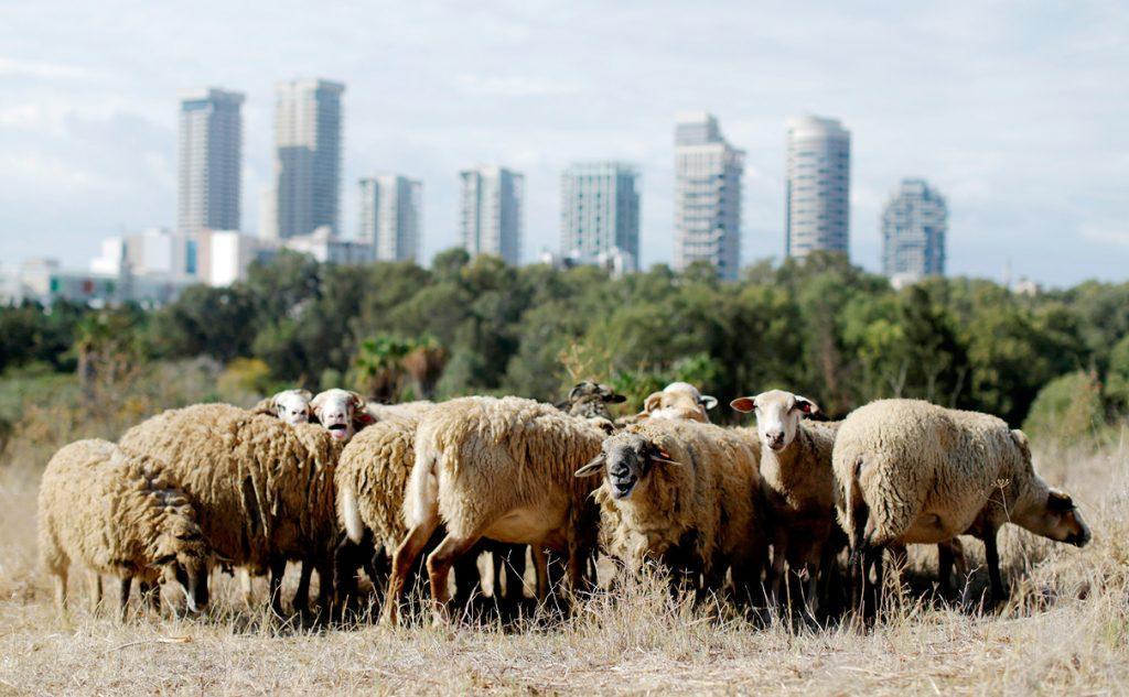 Bárányok legelésznek Tel-Aviv legmenőbb parkjában