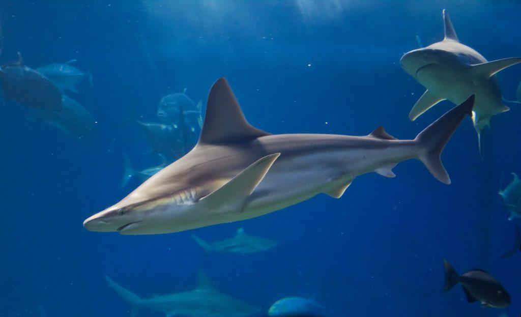Hemzsegnek a cápák Izrael partjainál