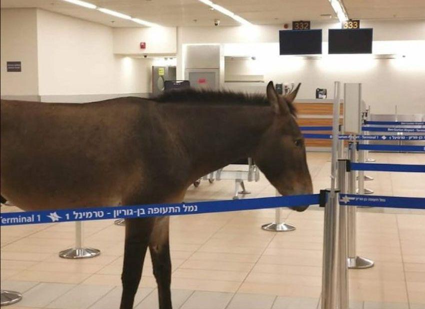 Egy békés öszvér sétálgatott a tel-avivi reptér egyik termináljában
