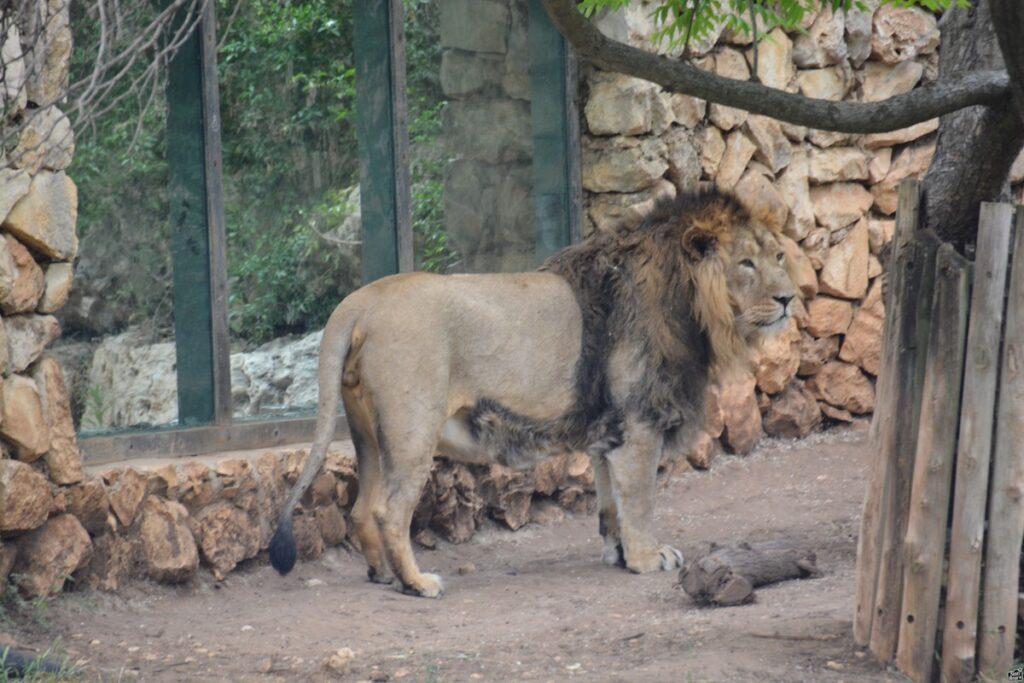Nyuszit evett az oroszlán, kiborultak a jeruzsálemi állatkert látogatói