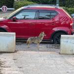 Tel-Aviv belvárosában is felbukkantak az élelem után kutató sakálok